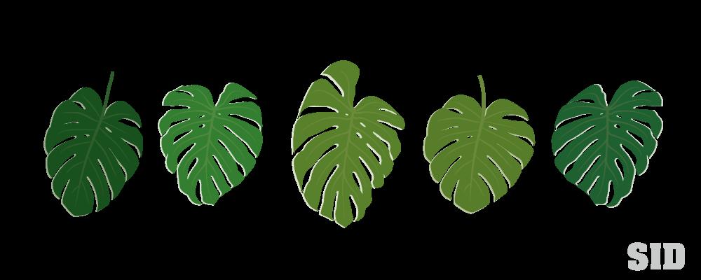 モンステラの葉っぱのイラスト