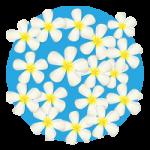 白いプルメリアの花のイラスト