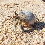 砂浜を歩くヤドカリの写真素材