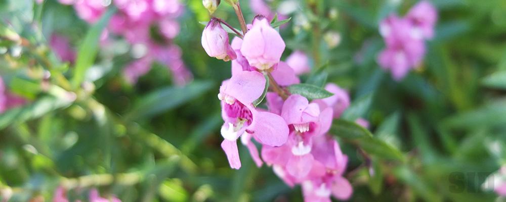 暖かい地域を好む花、アンゲロニア
