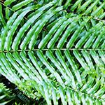 緑々しいシダ植物の葉