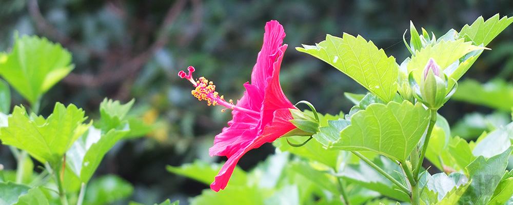 ハイビスカスの花を横から撮った写真