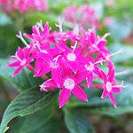 熱帯地域のピンクの花、ペンタス