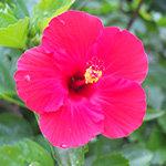 ピンクがかったハイビスカスの花