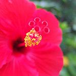 ハイビスカスの花の雄しべ接写